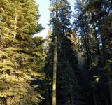 Free Photo - Giant Pine in Sequoia National Park