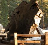 Free Photo - Redwood Cross Section in Sequoia Nationa
