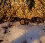 Free Photo - Pine Cone in Snow at Dusk in Sequoia Nat