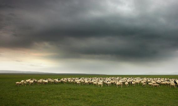 A flock of sheep - Free Stock Photo