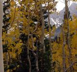 Free Photo - Winter Aspens