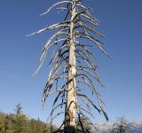 Free Photo - Lifeless Pine in Sequoia National Park