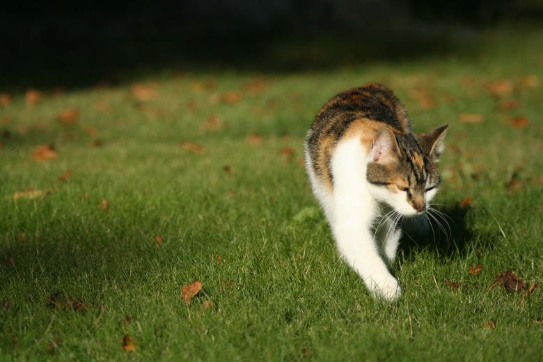 Free Stock Photo of Cat walking on grass Created by christian taylor hauschild