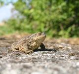 Free Photo - Bullfrog