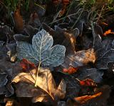 Free Photo - Frozen leafs
