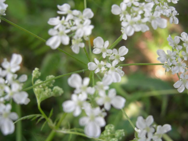 Free Stock Photo of Anthriscus sylvestris Created by juvena holm