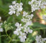 Free Photo - Anthriscus sylvestris