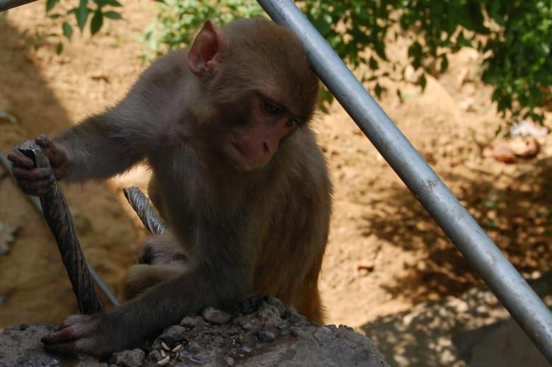 Free Stock Photo of Monkey Created by konark ashara