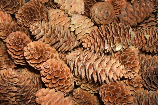 Tiny Pinecones - Free Stock Photo