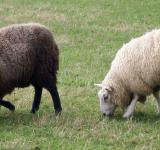 Free Photo - Two bonny wee sheep