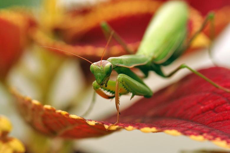 Mantid II Free Insect Stock Photos