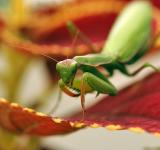 Free Photo - Mantid II