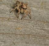 Free Photo - Camouflaged Jumping Spider
