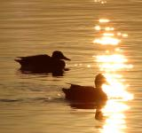 Free Photo - Ducks at dusk