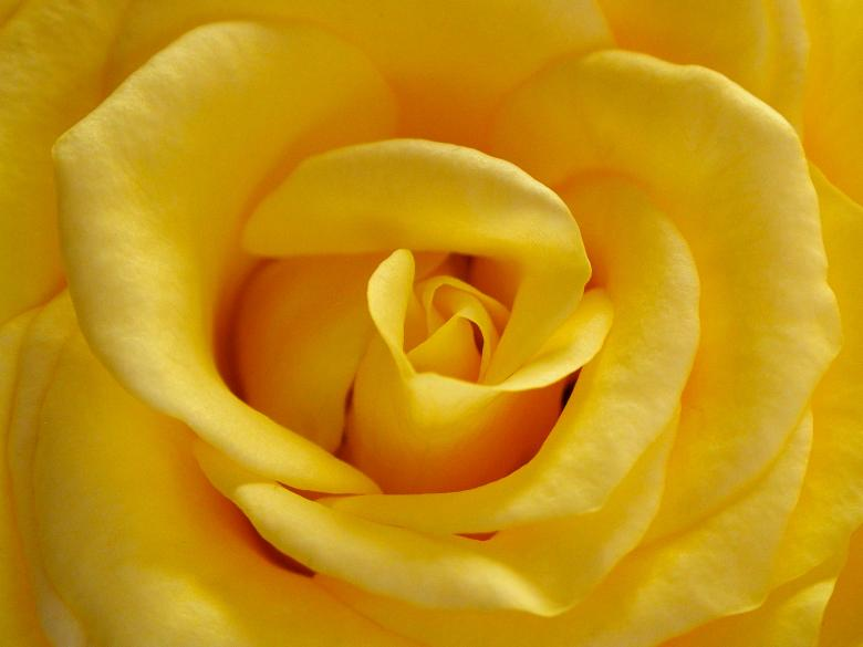 Free Stock Photo of Yellow Rose Created by gavin hopps