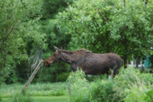 Moose and Fencepost - Free Stock Photo