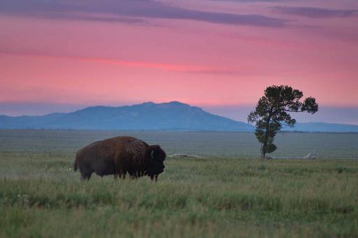 Bison and Lone Tree - Free Stock Photo