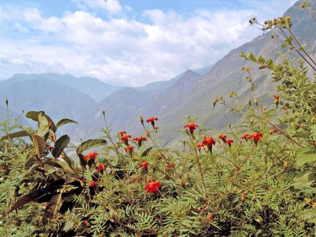 Red flowers with mountain background - Free Stock Photo