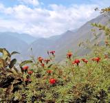 Free Photo - Red flowers with mountain background