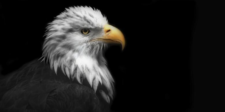 Free Stock Photo of Eagle Created by andrew repcik