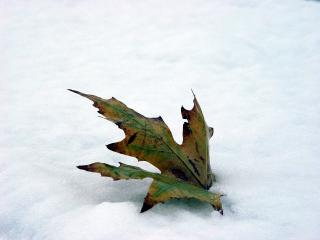 Leaf in snow Free Photo