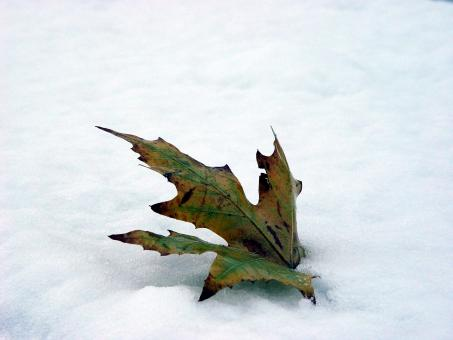 Leaf in snow - Free Stock Photo