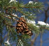 Free Photo - Pinecones