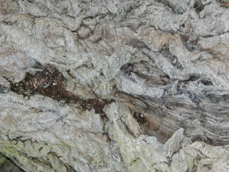 Bark texture - Free Stock Photo