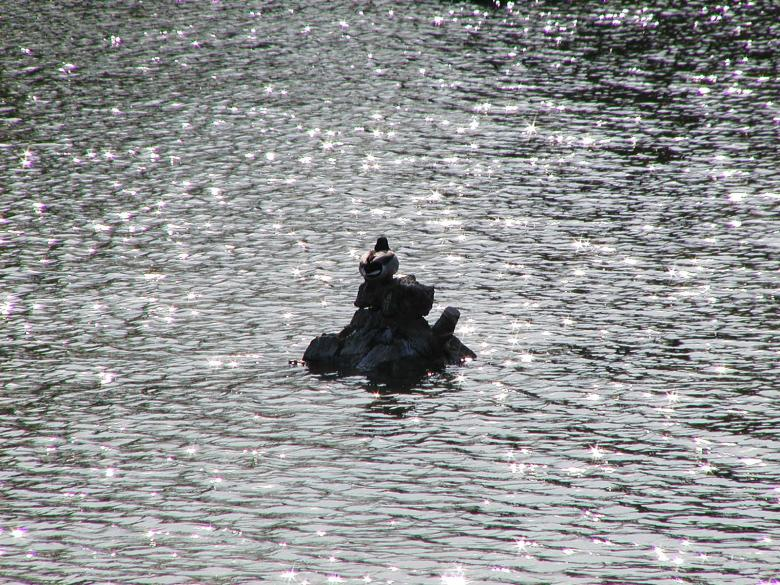 Free Stock Photo of Duck on the water Created by sn4tch