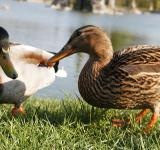 Free Photo - Ducks