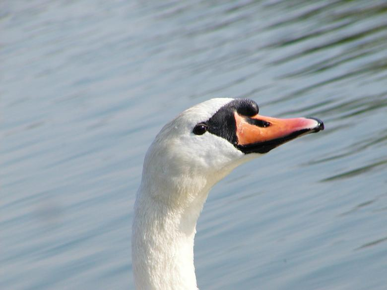 Free Stock Photo of Swan closeup Created by sn4tch