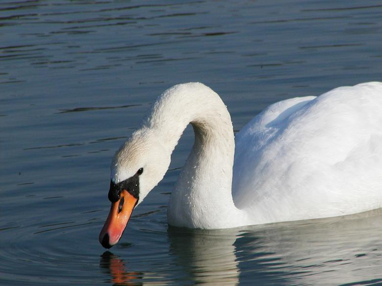 Free Stock Photo of Swan Created by sn4tch