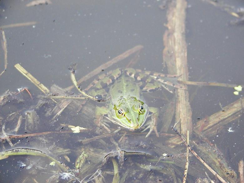 Free Stock Photo of Frog in a pond Created by sn4tch