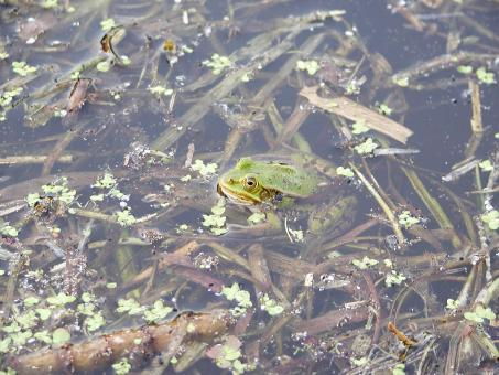 Frog in a pond - Free Stock Photo