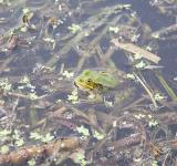 Free Photo - Frog in a pond