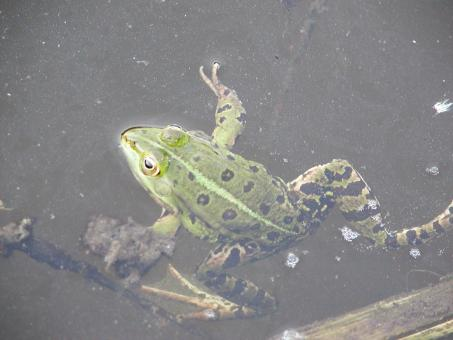 Bullfrog - Free Stock Photo