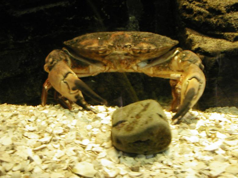 Free Stock Photo of Crab in Aquarium Created by Bjorgvin