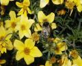 Free Photo - Bumblebee