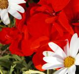 Free Photo - Red and white flowers