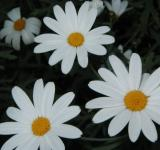 Free Photo - 3 White flowers