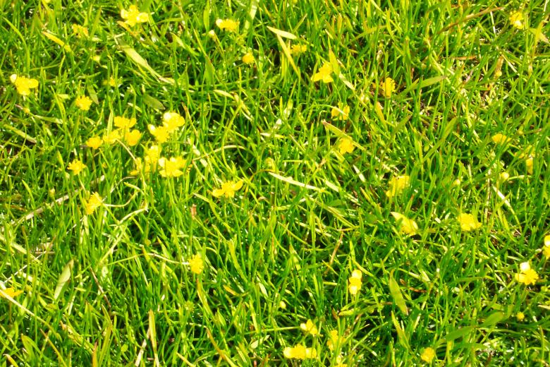 Free Stock Photo of Yellow flowers in grass Created by Héðinn