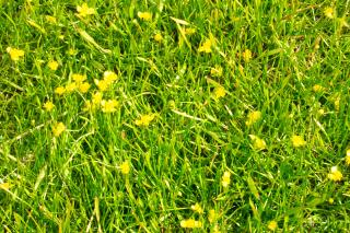 Yellow flowers in grass Free Photo