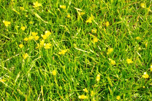 Yellow flowers in grass - Free Stock Photo
