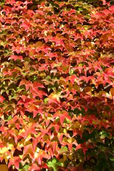 Leafs in fall colours - Free Stock Photo