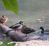Free Photo - Ducks by the lake