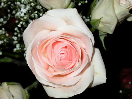 Pink and white rose - Free Stock Photo