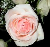 Free Photo - Pink and white rose