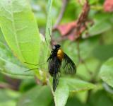 Free Photo - Black fly with a golden back