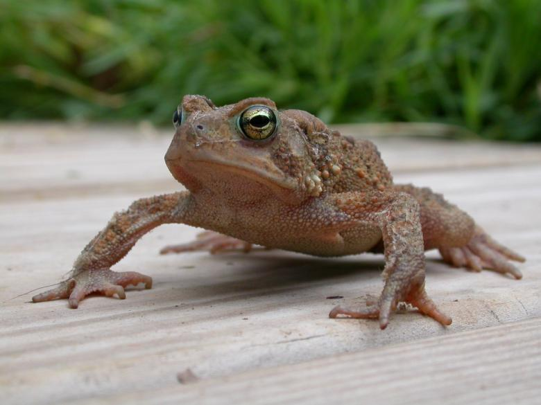 Free Stock Photo of Frog Created by raymond henry