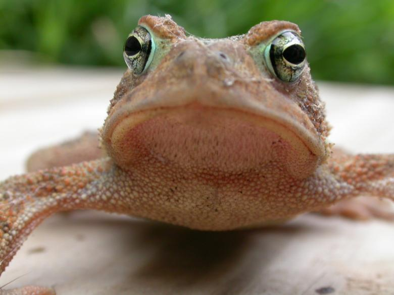Free Stock Photo of Frog face Created by raymond henry